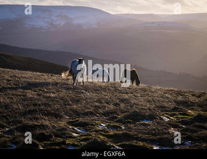 Welsh mountain ponies in setting sun in the Brecon Beacons National Park - Stock Photo