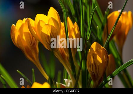 Bronze striped yellow flowers of the late winter flowering Crocus chrysanthus 'Dorothy' - Stock Photo