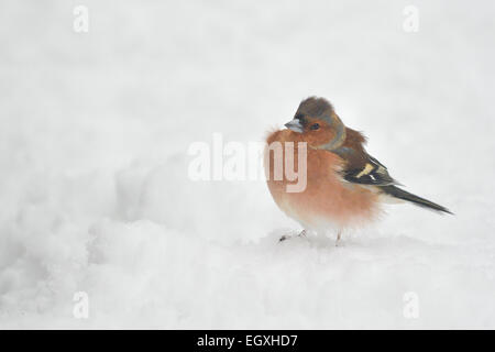 Common Chaffinch (Fringilla coelebs) male - with feathers fluffed up trapping air as insulation against the cold - Stock Photo
