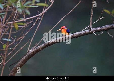 Oriental Dwarf Kingfisher (Ceyx erithaca) - Stock Photo