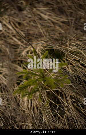A young conifer pushing through the grass. Rhoen Mountains, Germany - Stock Photo