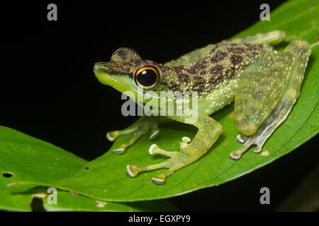 An Black Spotted Rock Frog  (Staurois guttatus) sitting on a leaf near a stream in Borneo. - Stock Photo