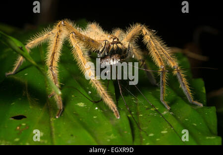 A huntsman spider (Heteropoda davidbowie) feasts on an unfortunate harvestman. - Stock Photo