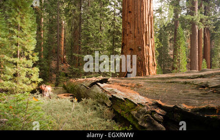 A felled tree sits next to a one standing in dense forest - Stock Photo