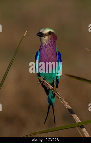 The lilac-breasted roller (Coracias caudatus) - Stock Photo