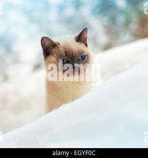 Cute Siamese cat walking in snow - Stock Photo
