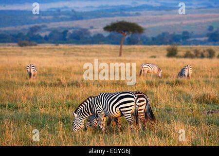 Plains Zebras (Equus guagga), in the morning light, behind an umbrella acacia tree, open steppe, Maasai Mara National - Stock Photo