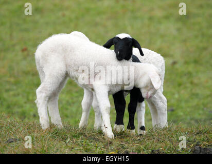 Black and white lamb - Stock Photo