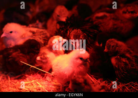 Day old chicks in incubator - Stock Photo
