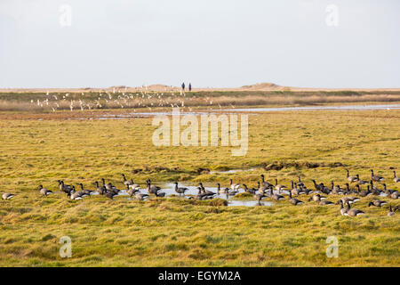 Brent Geese feeding on salt marsh with a flock of Wigeon flying behind at Salthouse on the North Norfolk coast, - Stock Photo