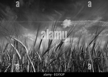 Close up of ears of barley growing in a Norfolk field. - Stock Photo