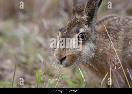 European hare, Brown Hare, hares, Feldhase, Feld-Hase, Hase, Portrait, Porträt, Lepus europaeus, Lièvre d'Europe - Stock Photo