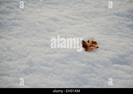 An oak leaf has fallen from the tree and lays on the snow covered ground. - Stock Photo