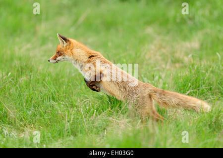 Red fox (Vulpes vulpes)   Rotfuchs (Vulpes vulpes) auf Mäusejagd - Stock Photo