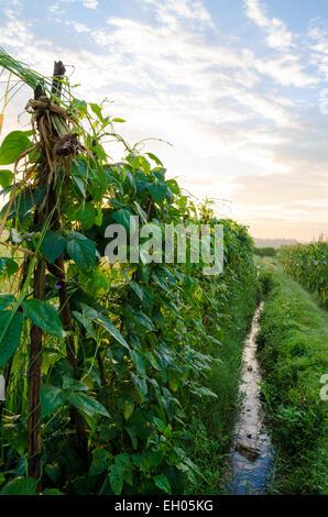 [yardlong bean plant in morning] morning sunny day , village, valley - Stock Photo