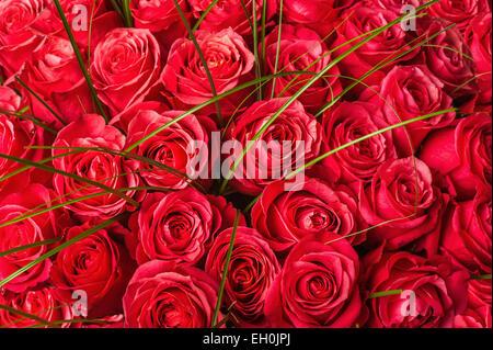 Big fresh pink roses beautiful natural flowers stock - Big rose flower wallpaper ...
