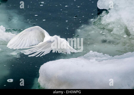 Dreamy Image of an Adult Ivory Gull, Pageophilia eburnea, flying over the Olgastretet Pack Ice Svalbard, Norway - Stock Photo