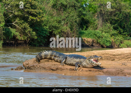 Yacare Caiman, Caiman crocodilus yacare, mouth open, on the bank of a river in the Pantanal, Mato Grosso, Brazil, - Stock Photo