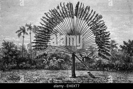 the famous Ravenala madagascariensis, tree of travelling people, historical image 1886 - Stock Photo