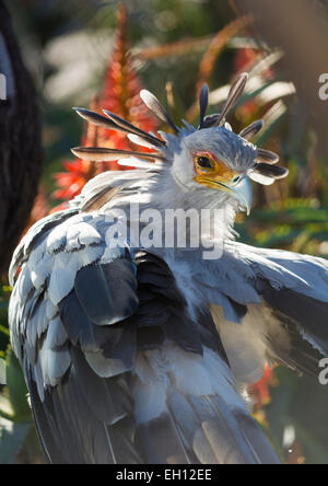 A secretary bird portrait with beautiful plumage back lit - Stock Photo