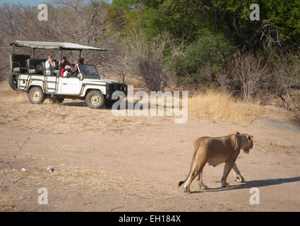 Lion crossing road in front of tourist vehicle - Stock Photo