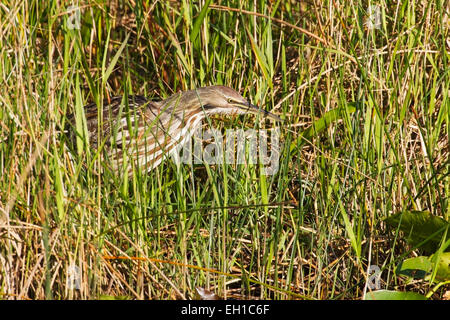 American bittern (Botaurus lentiginosus) adult feeding in swamp vegetation, Florida, USA - Stock Photo