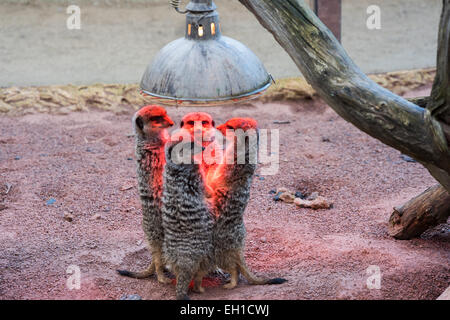 Meerkats standing under heat lamp - Stock Photo