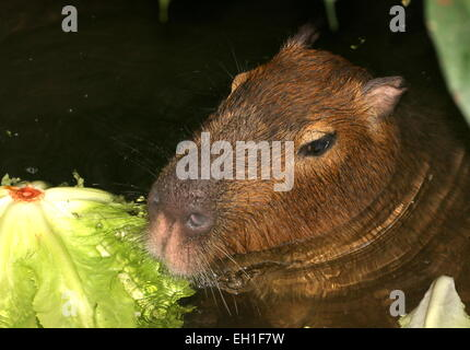 Closeup of the head of a Capybara (Hydrochoerus hydrochaeris)  in the water eating lettuce - Stock Photo