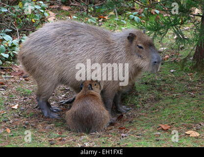 Capybara (Hydrochoerus hydrochaeris) with her young - Stock Photo