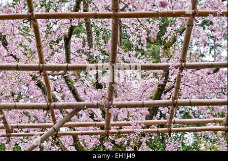 Kyoto, Japan. Spring cherry blossom in the 19c gardens of the Heian Shrine (Heian Jingu). Prunus pendula 'Pendula' - Stock Photo