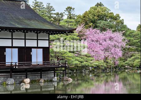 Kyoto, Japan. Spring cherry blossom in the 19c gardens of the Heian Shrine (Heian Jingu). Tree clipped to look like - Stock Photo