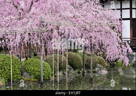 Kyoto, Japan. Spring cherry blossom in the 19c gardens of the Heian Shrine (Heian Jingu), a shinto temple - Stock Photo