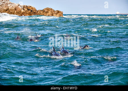 herd of hunting bottlenose dolphin (Tursiops truncatus), Eastern Cape, South Africa - Stock Photo