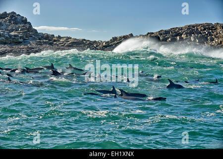 herd of hunting bottlenose dolphin (Tursiops truncatus), Eastern Cape, South Africa - Stock Photo