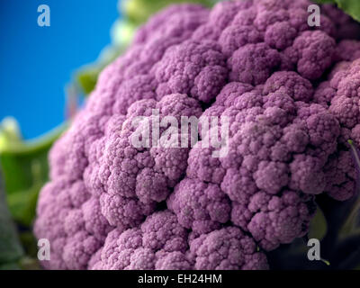 purple cauliflower - Stock Photo
