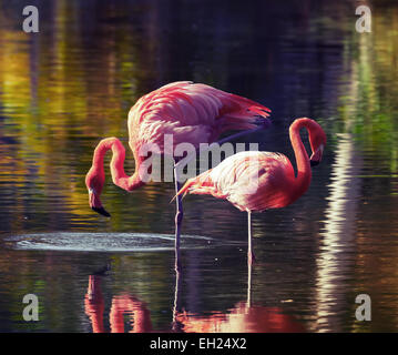 Two pink flamingos standing in the water with reflections. Vintage stylized photo, with tonal correction filter - Stock Photo