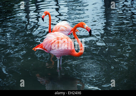 Two pink flamingos standing in the water with reflections. Vintage stylized photo with colorful tonal correction - Stock Photo