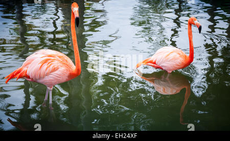 Two pink flamingos walking in the water - Stock Photo