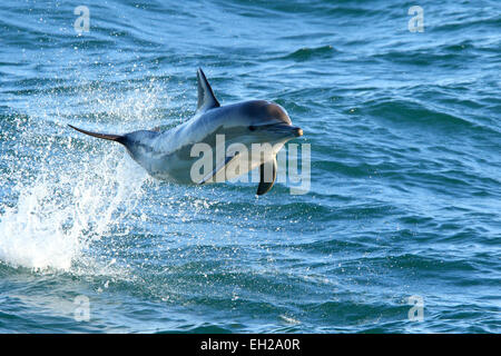 Dolphin Long beaked long-beaked, common dolphin (Delphinus capensis) porpoising and jumping out of the water in - Stock Photo