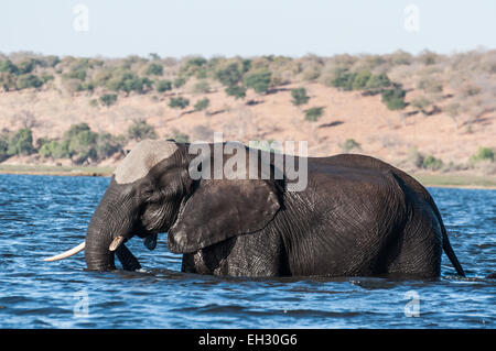 A bull elephant crosses the Chobe river on his way to an island in the middle of the river. - Stock Photo