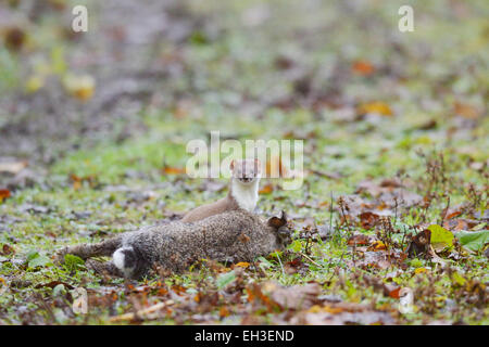 Stoat, Mustela erminea, with freshly killed or paralysed Rabbit, Wales, UK - Stock Photo