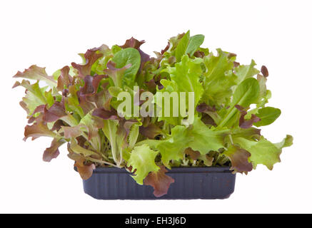 Baby salad leaves growing in a box - cut out on a white background, for your own 'cut and come again' supply. - Stock Photo