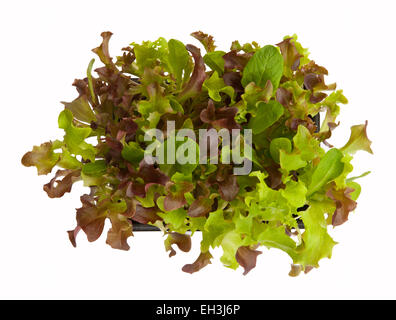 Baby salad leaves growing in a box from above - cut out on a white background, for your own 'cut and come again' - Stock Photo