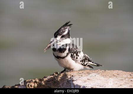 Pied Kingfisher (Ceryle rudis) sitting on wall, Djoudj National Park, Senegal - Stock Photo