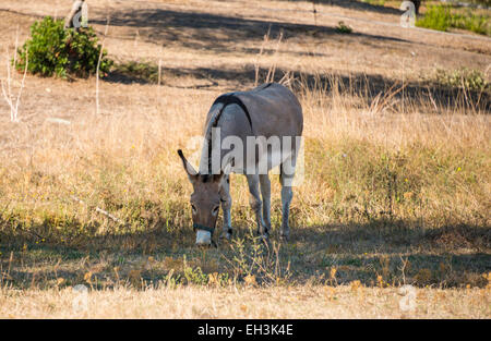 Donkey (Equus africanus asinus) grazing in the shade, Corsica, France - Stock Photo