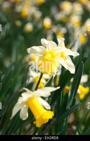 A Glorious Daffodil Field Jane Ann Butler Photography JABP763 - Stock Photo