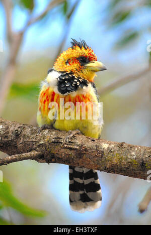 Crested Barbet or Lavaillant's Barbet (Trachyphonus vaillantii) on Pongola Game Reserve, Kwa-Zulu Natal, South Africa - Stock Photo