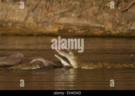 Nile crocodile (Crocodylus niloticus) eating a Common Waterbuck - Stock Photo