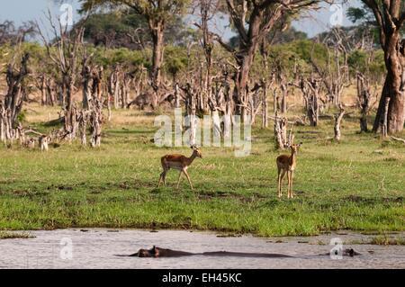 Botswana, Okavango delta, listed as World Heritage by UNESCO, Khwai Concession Area, Impala (Aepyceros melampus) - Stock Photo