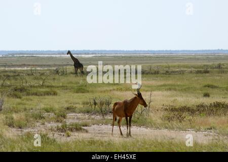 Namibia, Kunene region, Etosha National Park, Red Hartebeest (Alcelaphus buselaphus) - Stock Photo